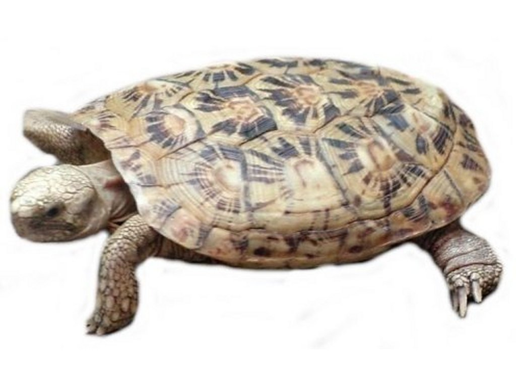 Turtle clipart one Just Found one laughed aww