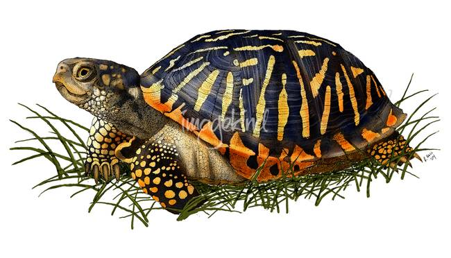Turtoise clipart box turtle #15