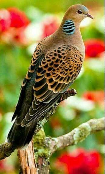 Turtle Dove clipart lovely bird #6