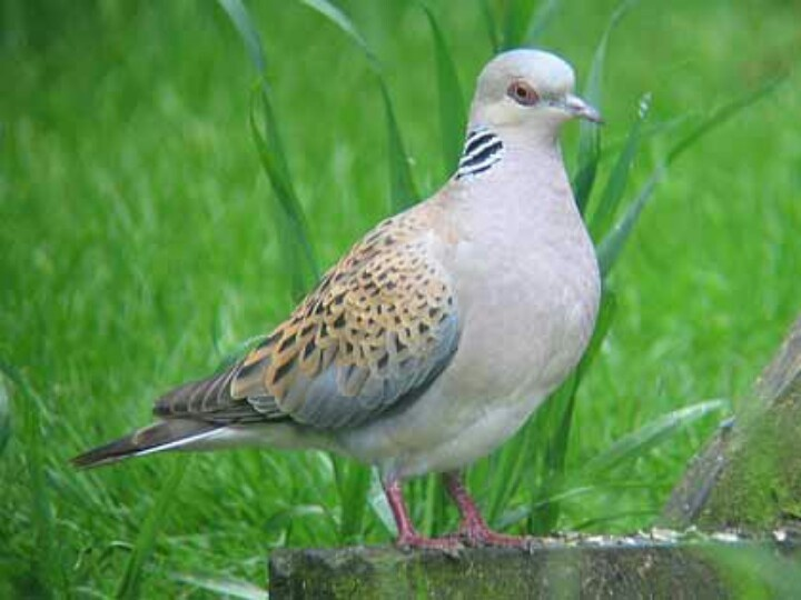 Turtle Dove clipart lovely bird #5