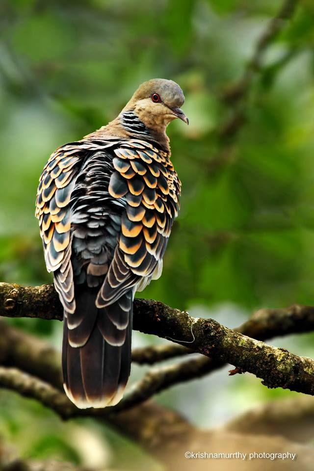 Turtle Dove clipart lovely bird #7