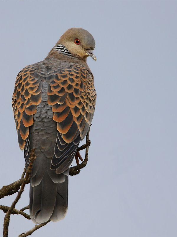 Turtle Dove clipart lovely bird #9