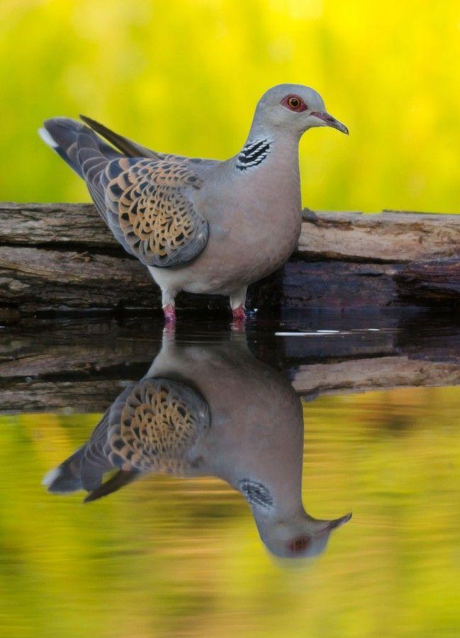 Turtle Dove clipart lovely bird #4