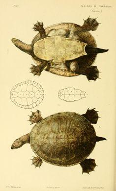 Turtoise clipart zoology #14