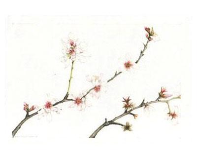 Ume Blossom clipart Almond Almond Green A Blossom