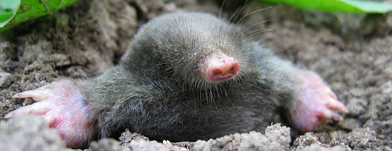 Underground clipart mole hole In Mole in length &