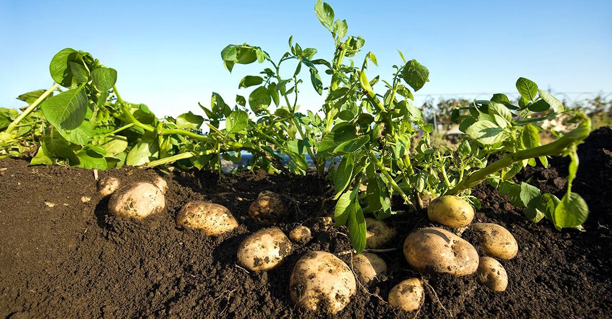 Underground clipart potato plant Crop Science Crops Bayer