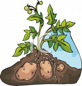 Underground clipart potato plant Facts: Potatoes Know? Potato Did