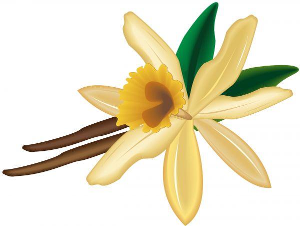 Orchid clipart vanilla bean Images Free Vanilla Panda vanilla%20clipart