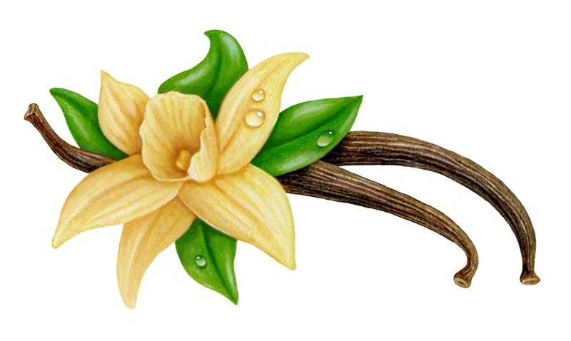 Orchid clipart vanilla bean Art flower flower Vanilla clipart