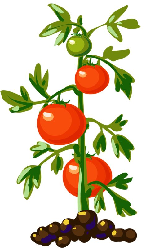 Cherry Tomato clipart vegetable plant Pinterest and on 263 tomatoes