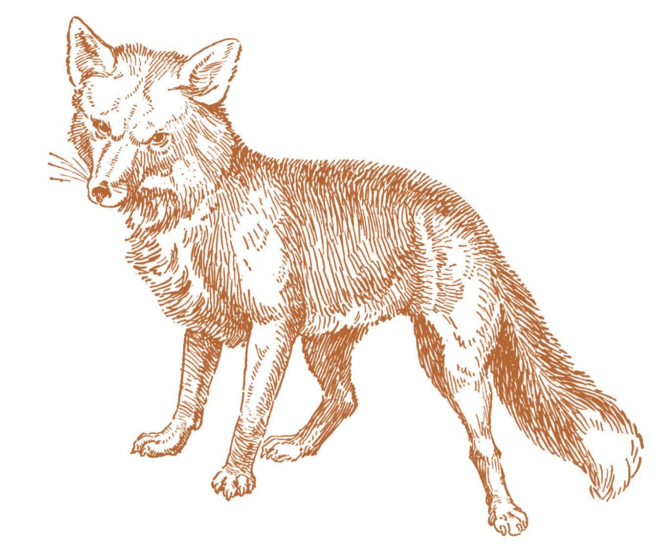 Trap clipart antique animal Clip Fox Vintage Fox Drawings