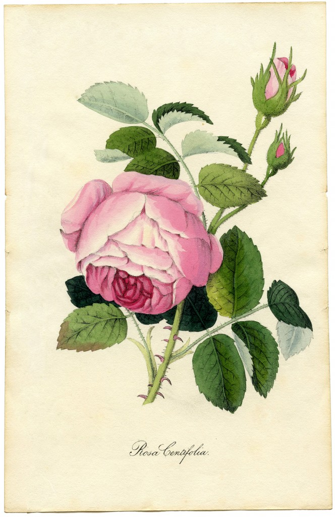 Drawn rose bush victorian flower Images Favorite Vintage Free Flower