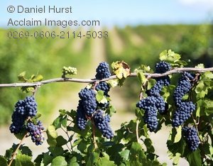 Vineyard clipart grape plant Photography a clipart in growing