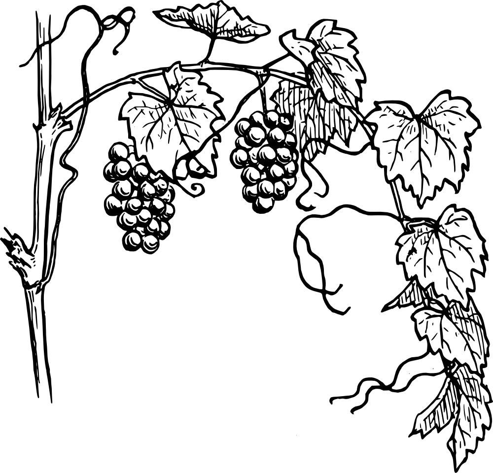 Vineyard clipart grape plant Warszawianka_Grapevine_1 png clipart grapes