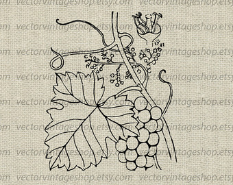 Vineyard clipart grape tree Grapevine Art Grapes Tendrils Grape