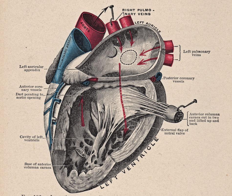 Anatomy clipart anatomical heart Free Art Heart Clip Vintage