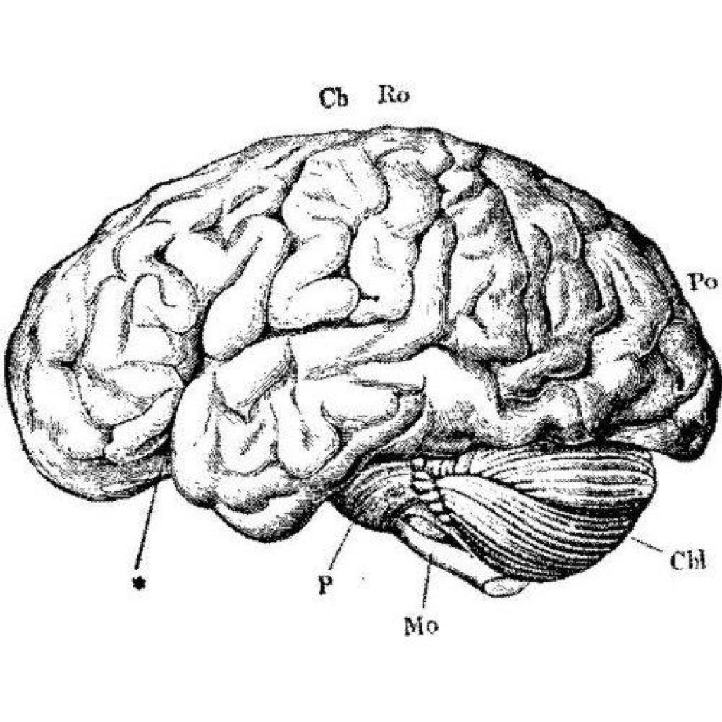 Anatomy clipart brain Anatomy vintage arts 500 anatomy