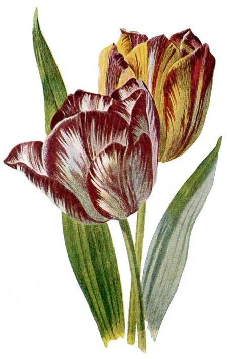 Vintage Flower clipart colored Flower Tulip Print Botanical Color