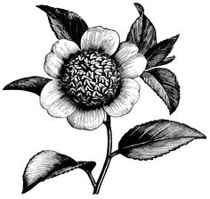 Vintage Flower clipart illustration  flower vintage chrysanthemum this