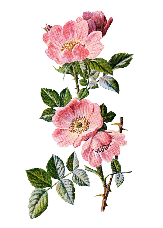 Vintage Flower clipart illustration Art wild rose wild flower