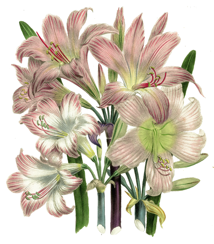 Vintage Flower clipart lillies  vintage_flowers_by_elly05 this Pin d4ol3z4