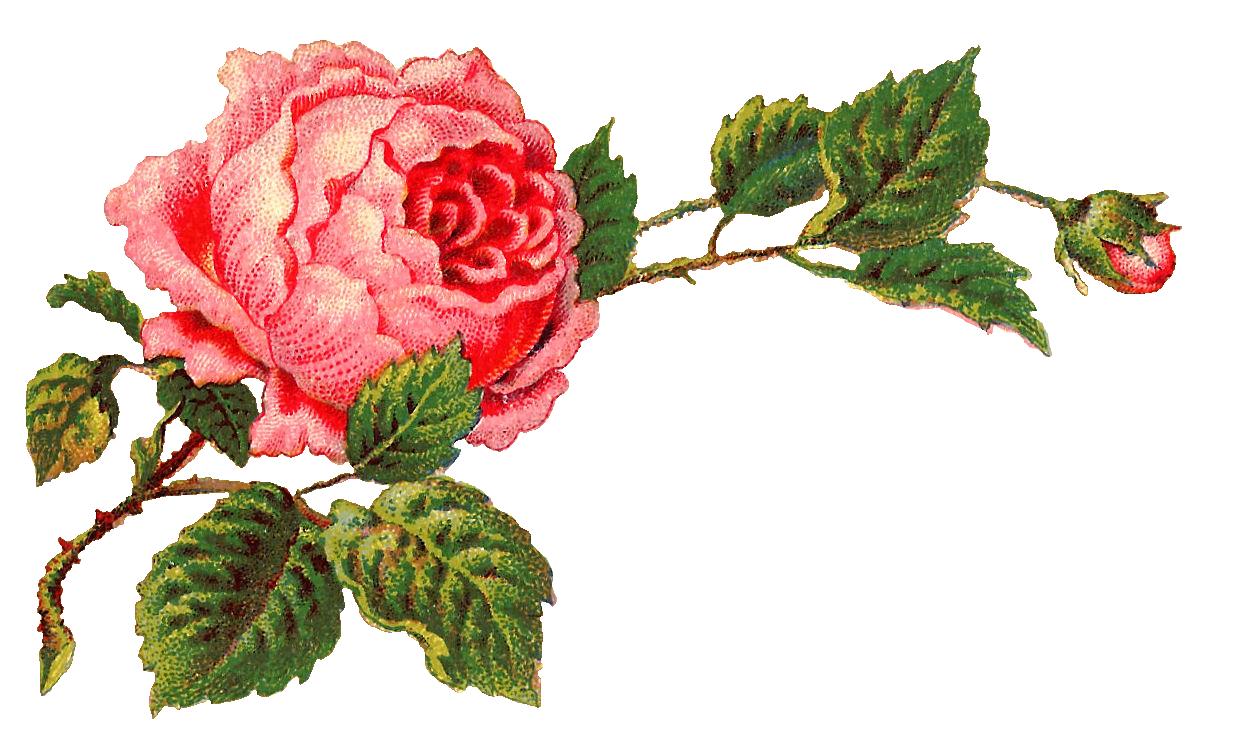 Vintage Flower clipart pink rose Flower Rose Pink Art Label