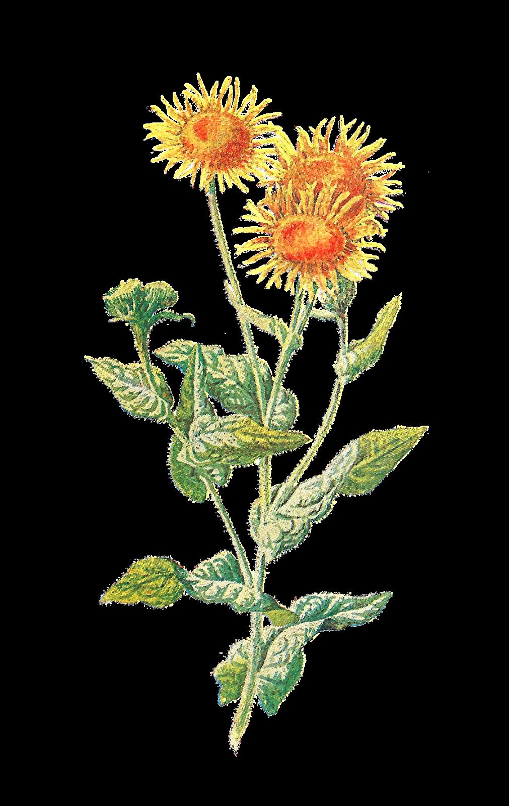 Wildflower clipart yellow flower Flower of sounding like Digital