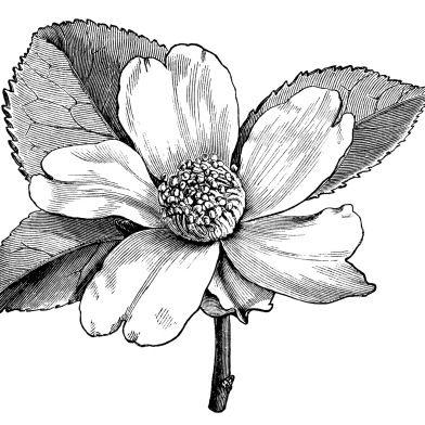 Illustrations ideas Camellia camellia white