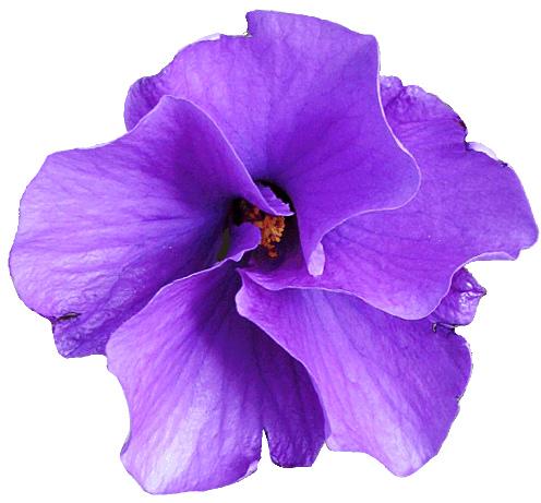 Petunia clipart hibiscus flower Flowers Purple Clipart Purple clip