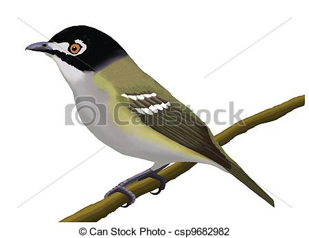 Vireo clipart Of Black capped Vireo capped