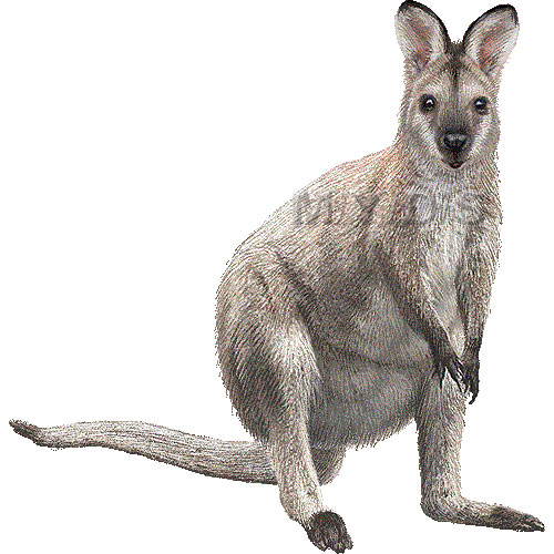 Wallaby clipart Necked clipart picture Red /