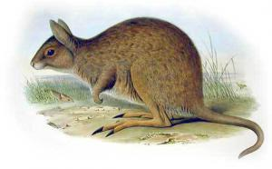 Wallaby clipart Marsupial Clip Art wallaby Download