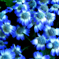 Wallpaper clipart blue flower Flower wallpaper wallpaper flower clipart