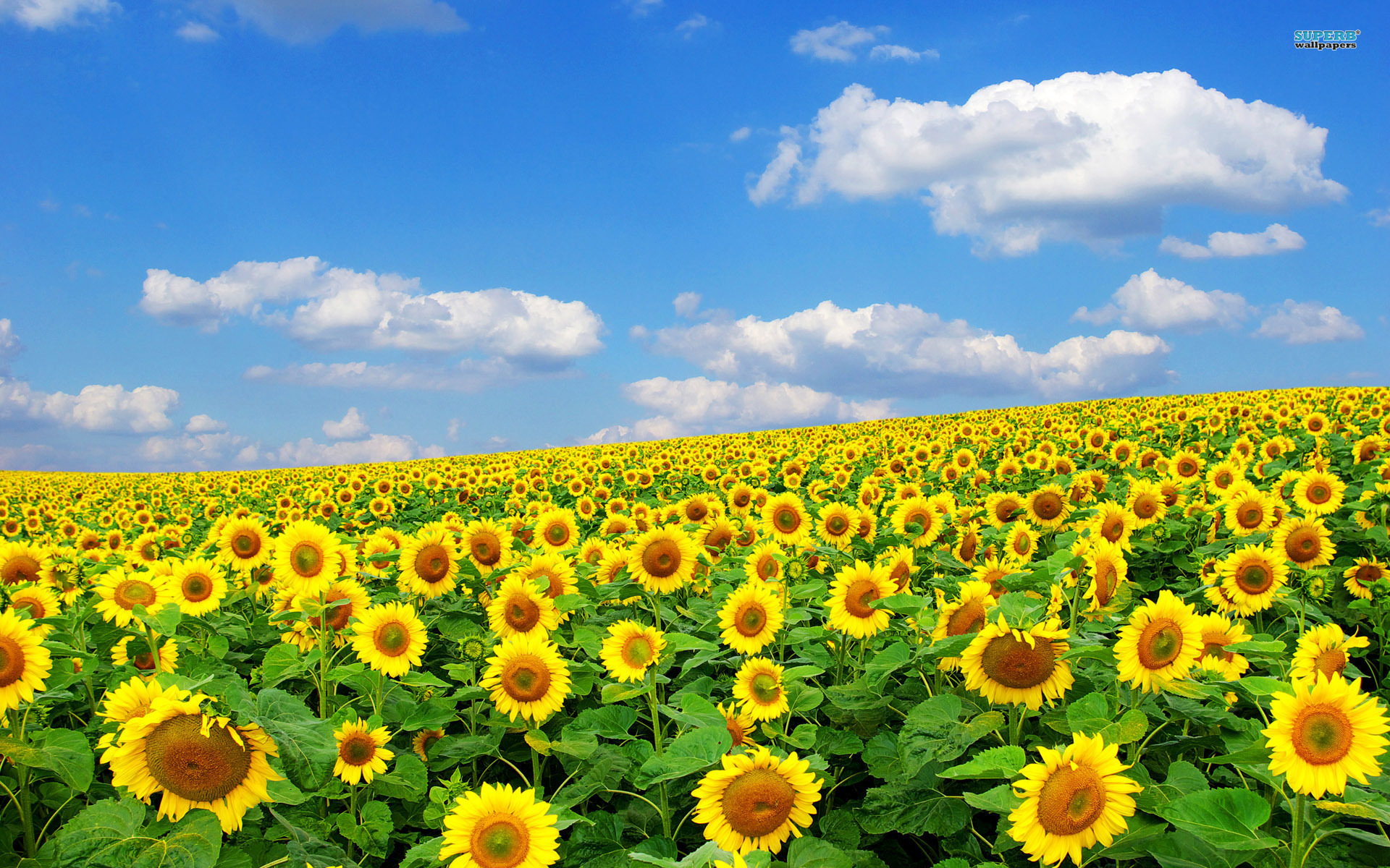 Wallpaper clipart sunflower Px Field Drawing HD Very