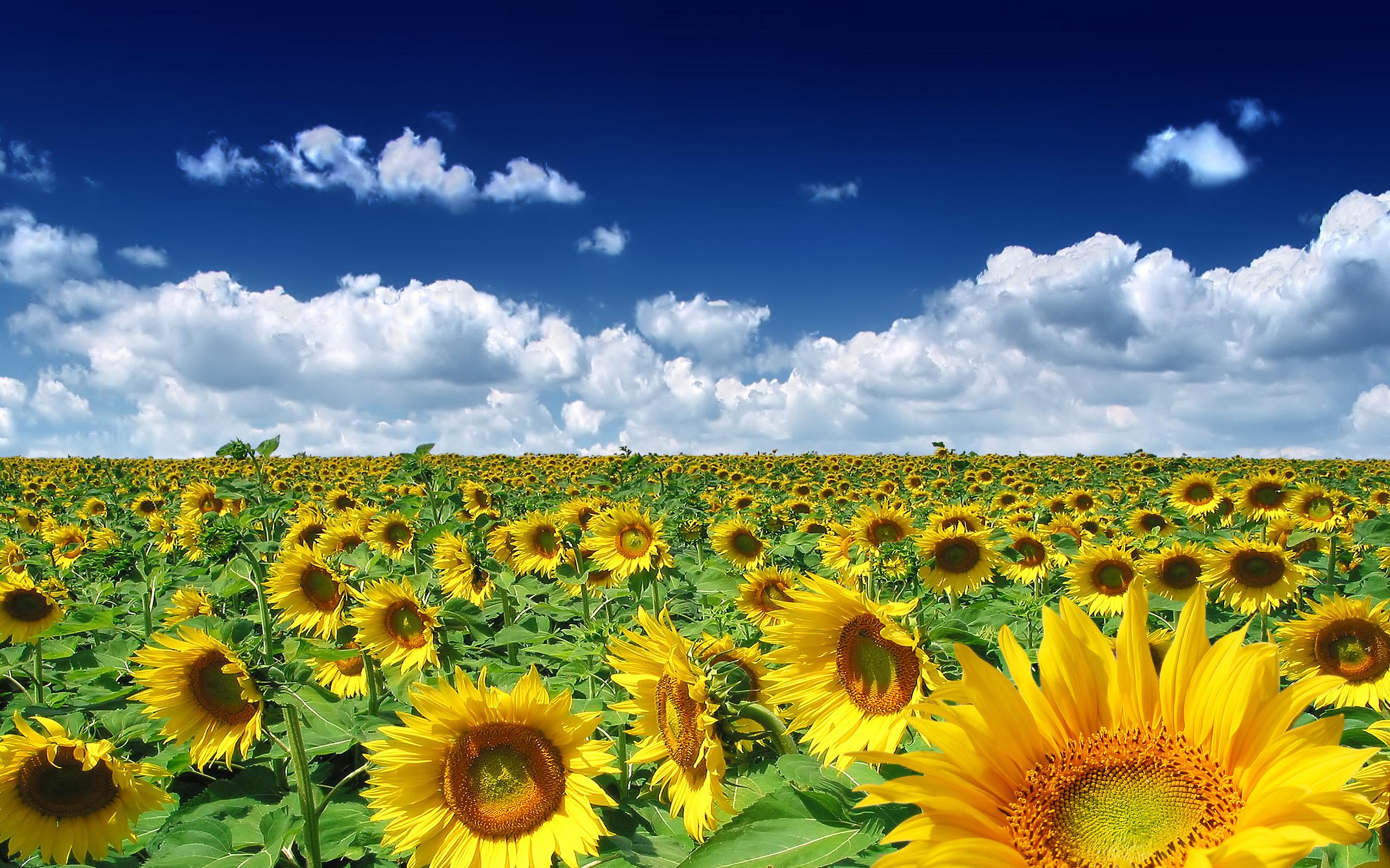 Wallpaper clipart sunflower Sunflower Clipart wallpaper Photography Field