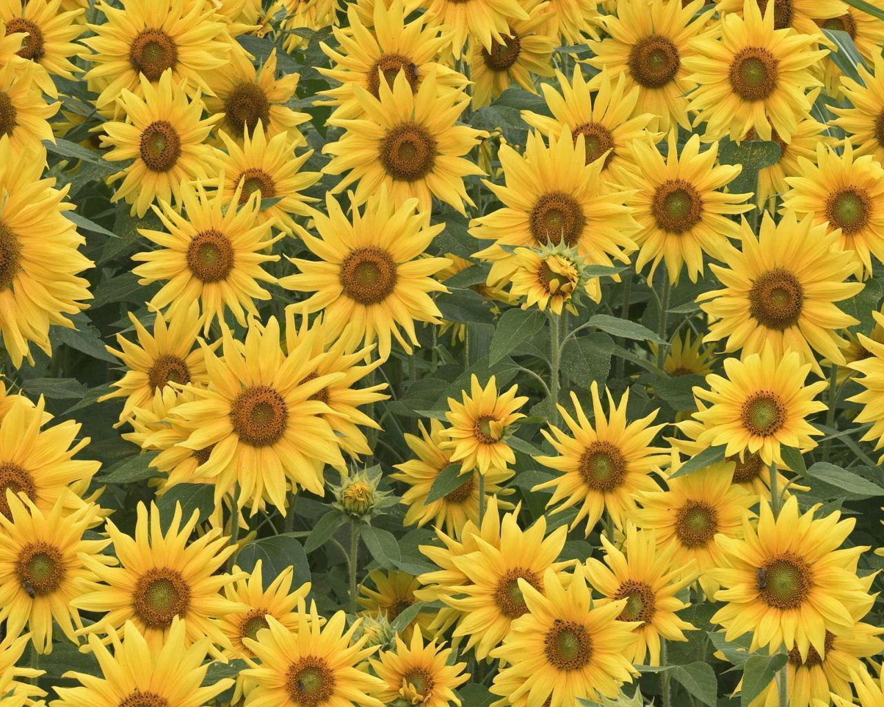 Sunflower clipart wallpaper Sunflowers eleletsitz: Sunflowers Tumblr Background