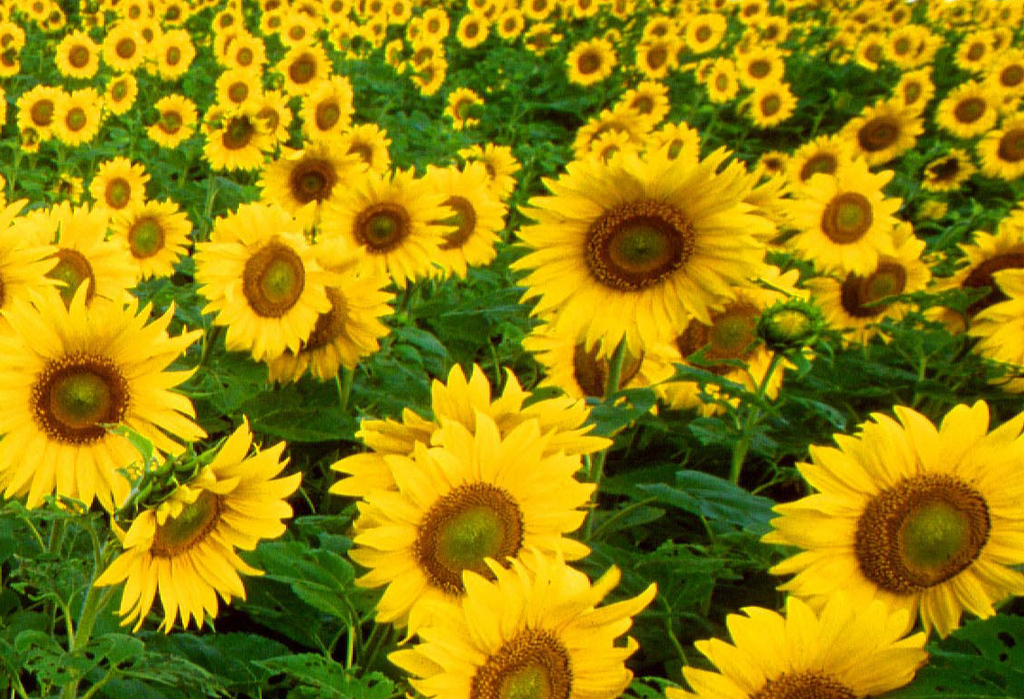 Sunflower clipart wallpaper Garden Sunflower Sunflower Clipart Tumblr