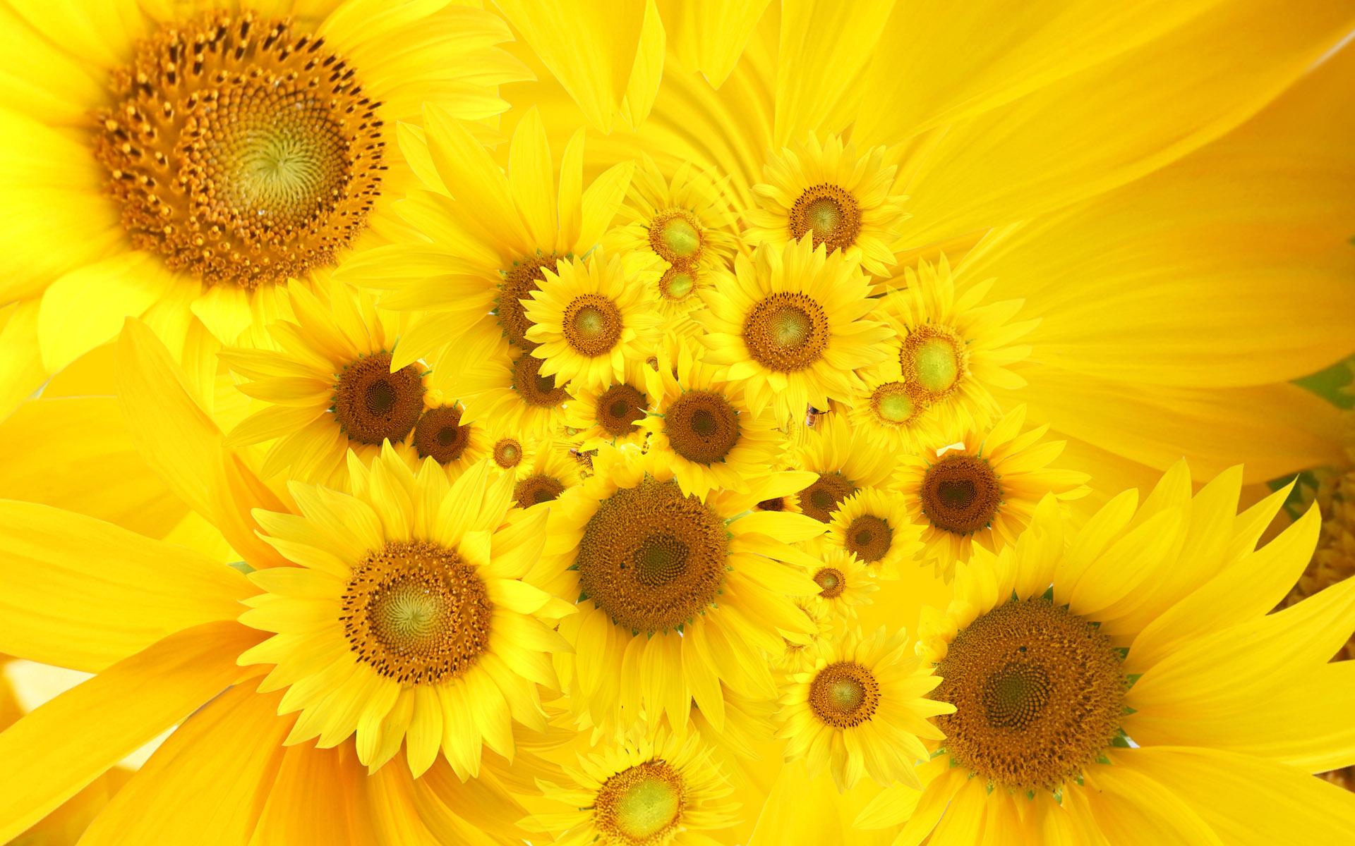 Wallpaper clipart sunflower Wallpaper  Sunflower Sunflower Yellow