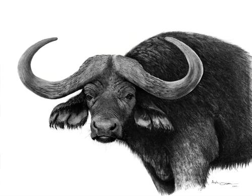 African Buffalo clipart Cape buffalo Buffalo Cape No: