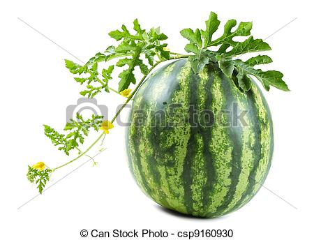 Watermelon clipart leaf The of  watermelon The