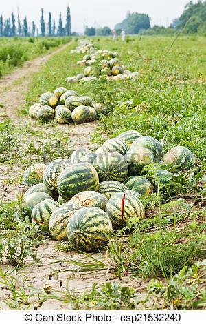 Watermelon clipart plantation Plantation melon of Photo melon