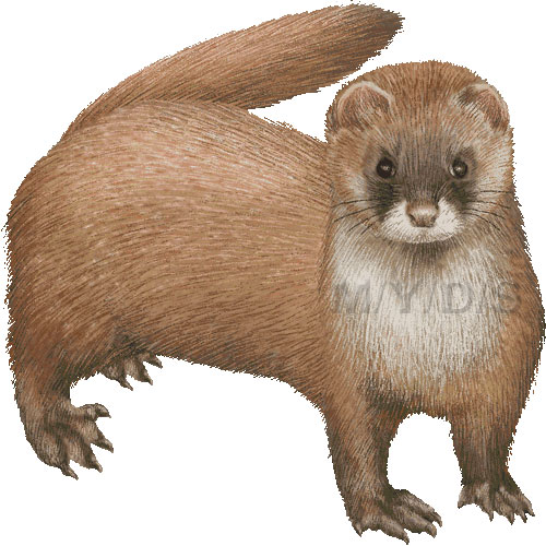 Weasel clipart Picture Weasel clipart Siberian Himalayan