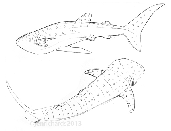 Drawn shark whale shark Richards conservation Sketches Jen of