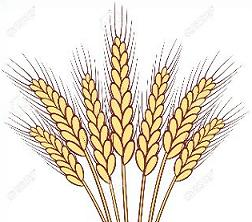 Wheat clipart Clipart Free wheat stalks Wheat