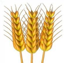 Wheat clipart Wheat wheat Free Clipart