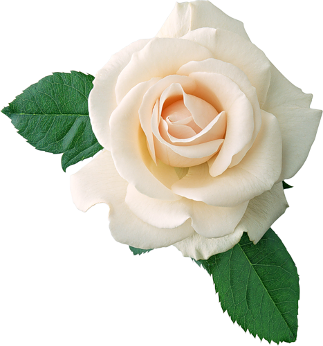 White Rose clipart living thing Rose white ART image White