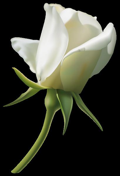 Bud clipart green rose Beautiful Image White Bud 3