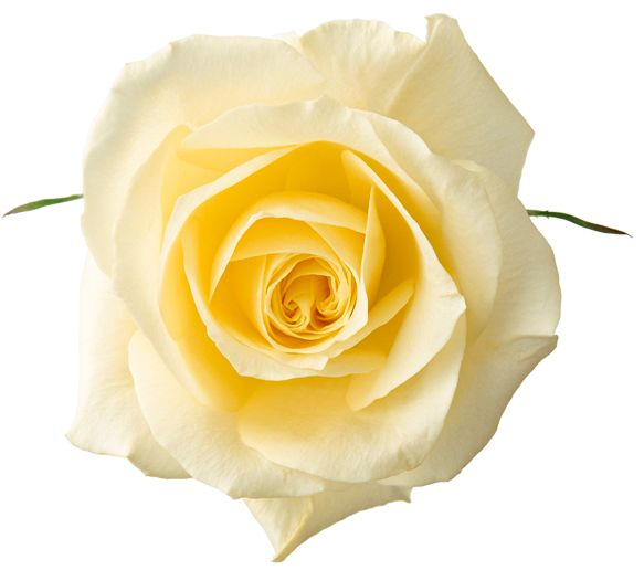 Yellow Rose clipart sweetheart Clipart 62 images Free Rose