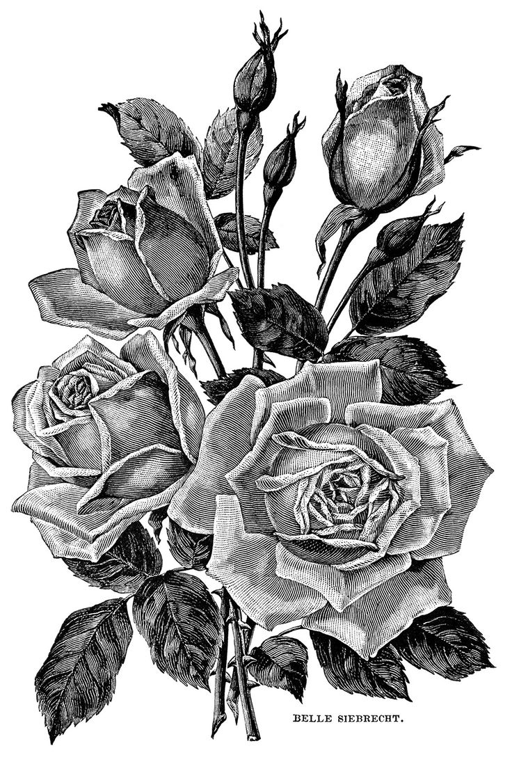 White Rose clipart brown flower #7